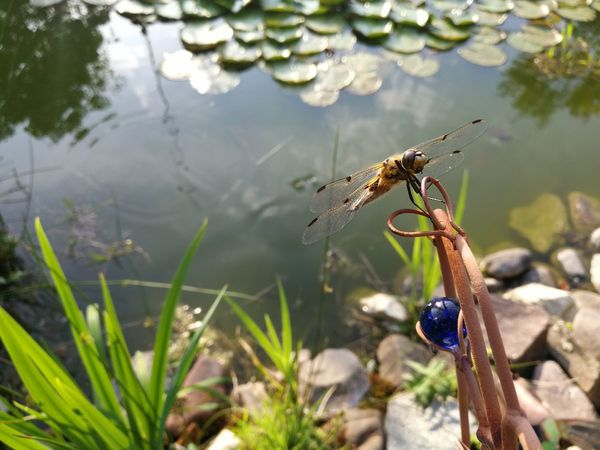 EyeEm Selects Animal Wildlife Insect One Animal Animals In The Wild Nature Outdoors No People Day Water Close-up Dragonfly Smartphone Photography Dragonfly_of_the_day