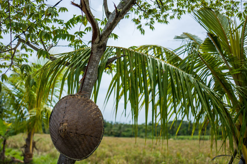 Canggu Rice Fields Branch Close-up Coconut Palm Tree Day Focus On Foreground Fruit Green Color Growth Hanging Healthy Eating Leaf Low Angle View Nature No People Outdoors Palm Tree Plant Plant Part Sky Tree Tropical Climate