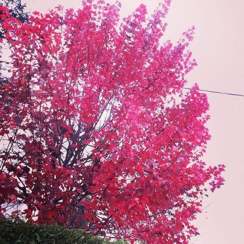100happydays Day96 Autumn Autunno  Tree Red Picoftheday Love