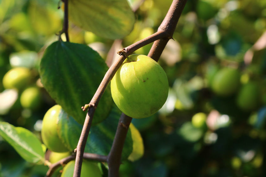 Beauty In Nature Close-up Focus On Foreground Food Food And Drink Freshness Fruit Green Color Growth Healthy Eating Leaf Monkey Apple Nature No People Outdoors Tree