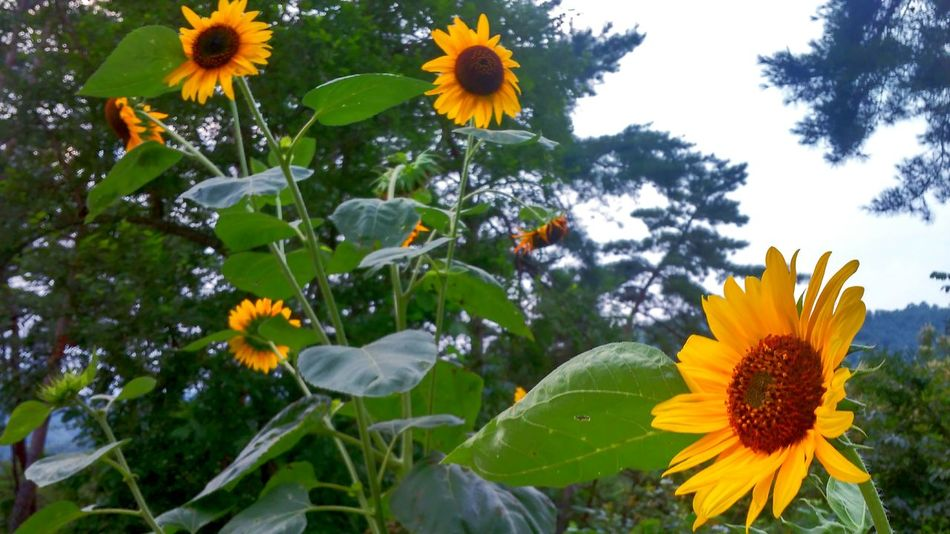 Sun Sunflowers🌻 Beautiful Nature Pretty Enjoying Life Taking Photos Wood Summer Cloudy Day Colour Of Life