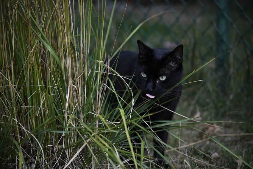 A black cat munches on grass outside in the yard Black Cat Outside Cats Pets Domestic Cat Feline Mammal Vertebrate Outdoors Daytime Portrait Meow Snack Food Grass Animal Plant Nature Plant Botany Eating Feather  Animal Themes No People Tongue EyeEmNewHere