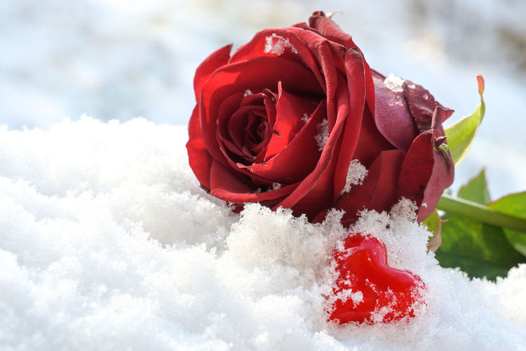 Close-up of red rose on snow covered plant