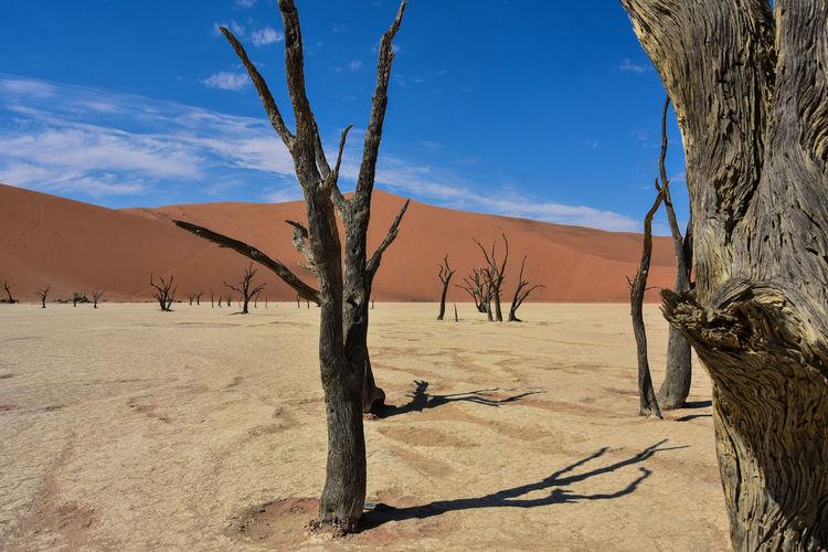 Bare trees at desert against blue sky