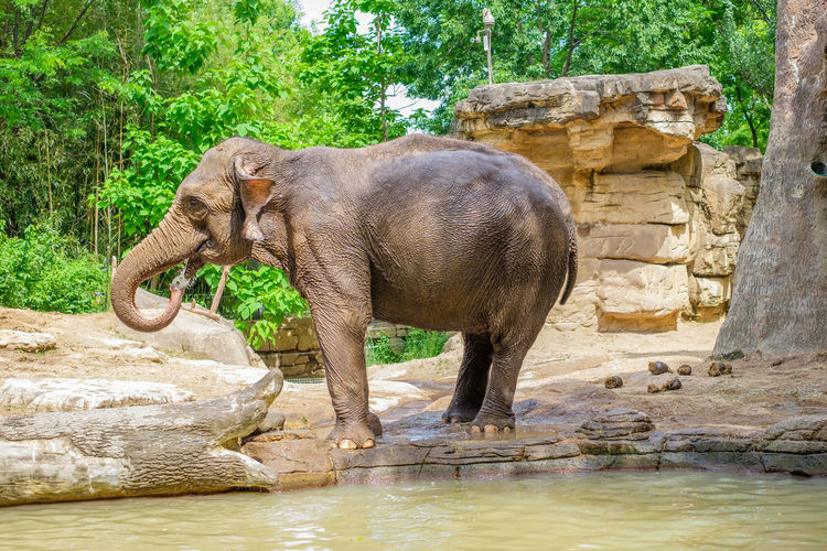 Elephant drinking water in rock against trees