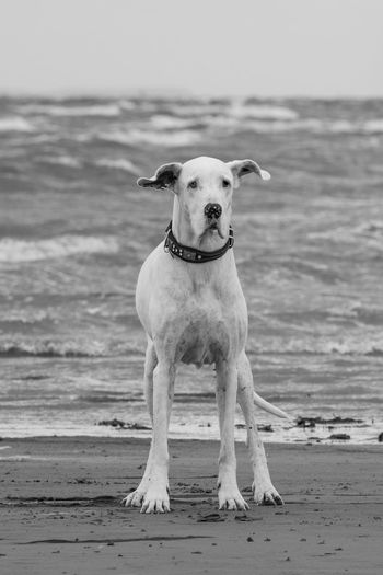 Dogs on the beach Beach Life Copy Space Holiday Netherlands Animal Animal Themes Beach Black And White Collar Day Dog Domestic Domestic Animals Europe Horizon Over Water Mammal Nature No People One Animal Outdoors Pets Portrait Sand Sea Shore
