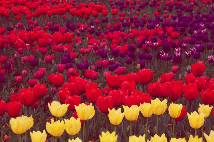 Full frame shot of colorful tulips blooming in park