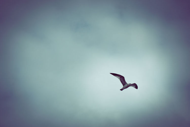 Seagull over
