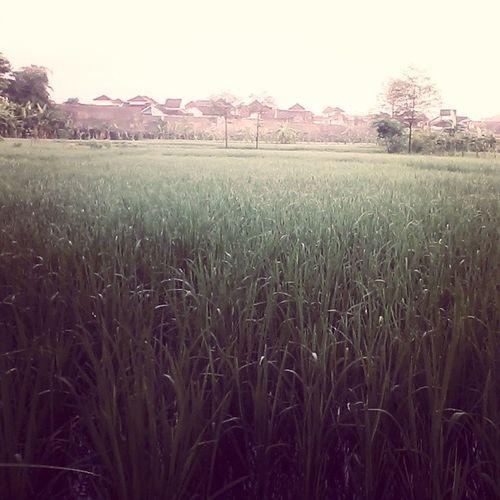 Morning Ricefield yogyakarta Kaliurang Green Happy
