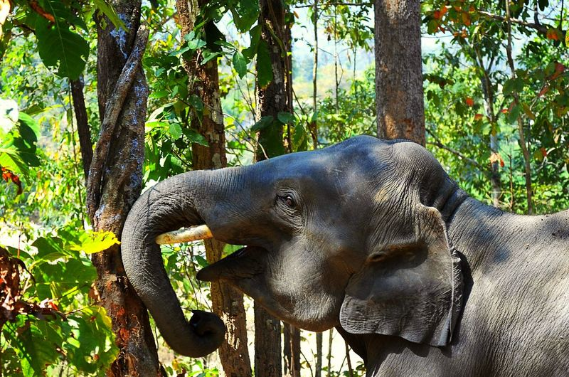 Animal Themes Animals In The Wild Nature Elephant Tree Forest Beauty In Nature No People Outdoors Beautiful Sunset Elephant ♥ Light Life Close-up Animals In The Wild Lover Maewang Jungle Chiang Mai