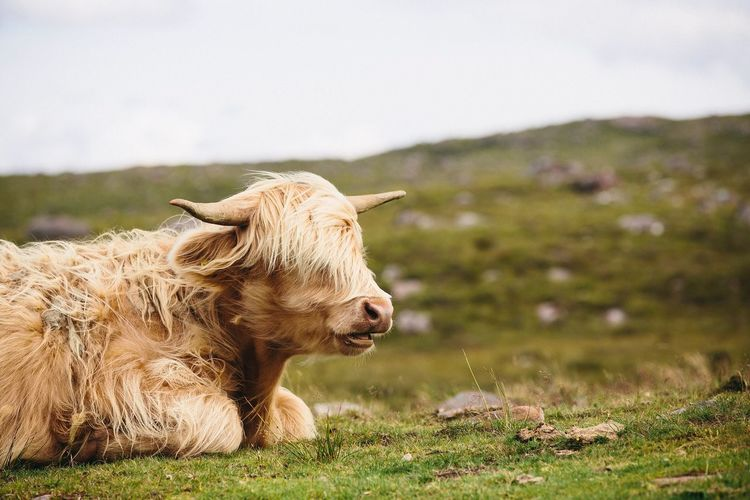 """I heard that too"" Horn Bangs Long Hair Highlands Of Scotland Scotland Highland Cattle Highland Cow EyeEm Selects Animal Animal Themes Mammal One Animal Vertebrate Animal Wildlife Livestock Day Animals In The Wild No People Nature Environment Focus On Foreground"