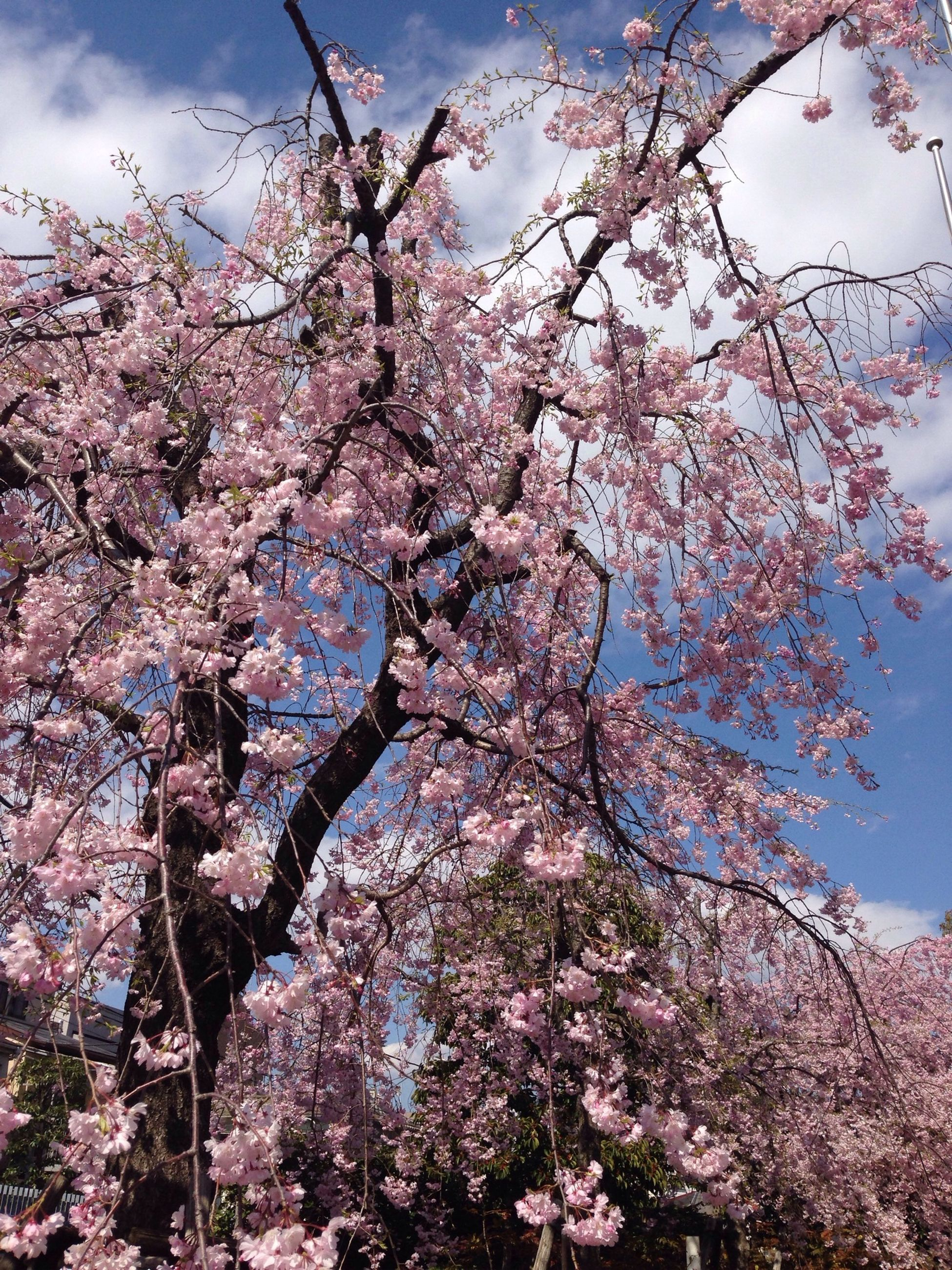 tree, branch, flower, low angle view, cherry blossom, growth, freshness, cherry tree, beauty in nature, blossom, sky, nature, fragility, springtime, fruit tree, in bloom, pink color, twig, day, blooming