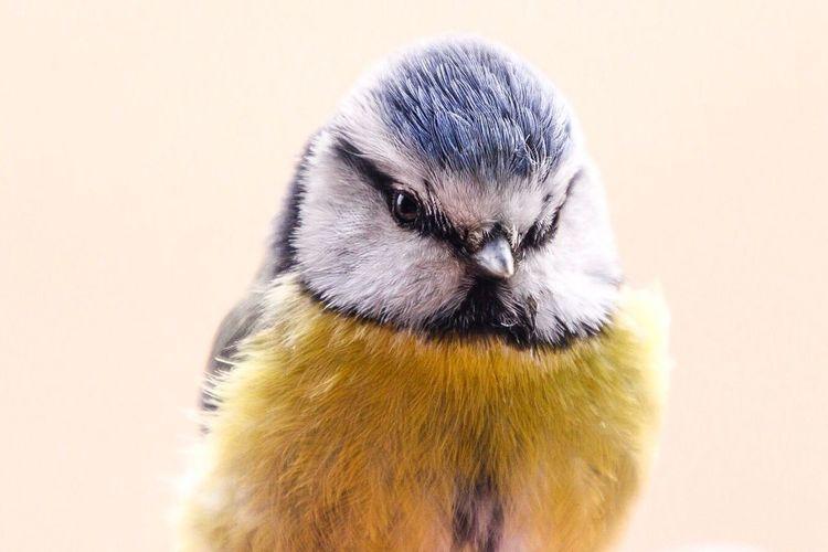 Blåmes Bird