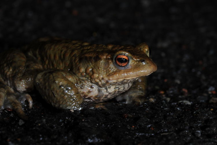 Animal Themes Animal Wildlife Animals In The Wild Nature Night No People Outdoors Reptile Toadmigration Beauty In Nature Krötenwanderung Kröte Environment