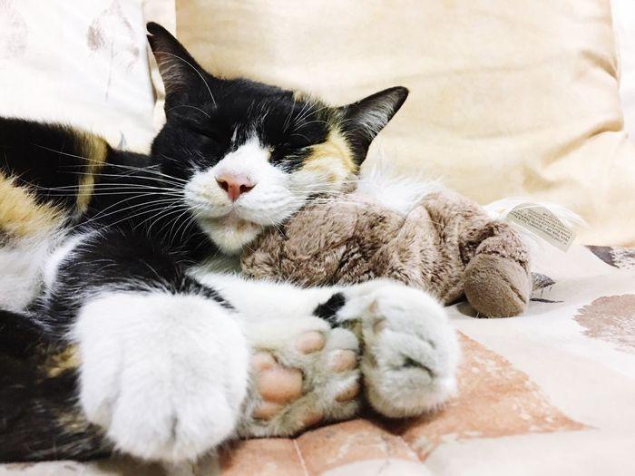 ม็อคค่า Mocca Domestic Cat Domestic Animals Pets Animal Themes Mammal Feline No People Cat Full Length Close-up Indoors  Day
