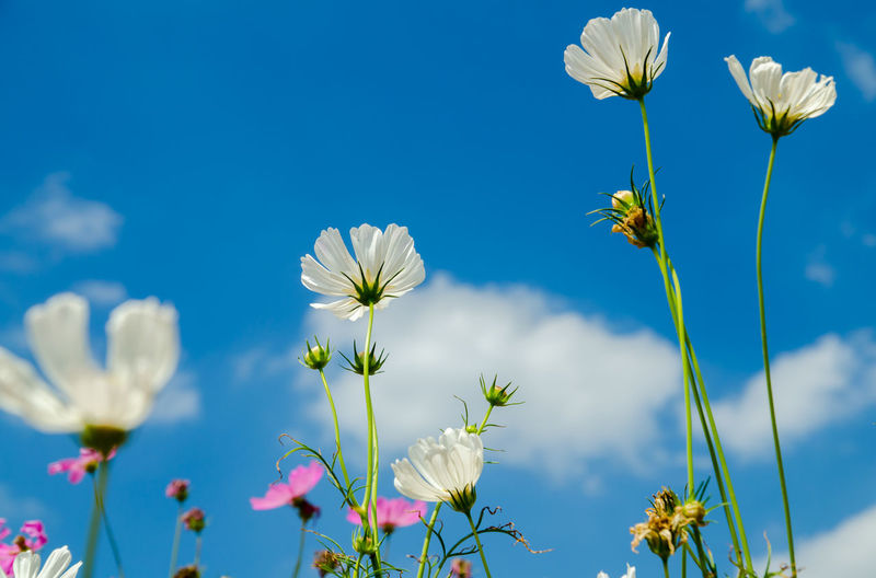 Agriculture Beauty In Nature Blossom Blue Close-up Day Flower Flower Head Fragility Freshness Growth Low Angle View Nature No People Outdoors Plant Sky Wildflower