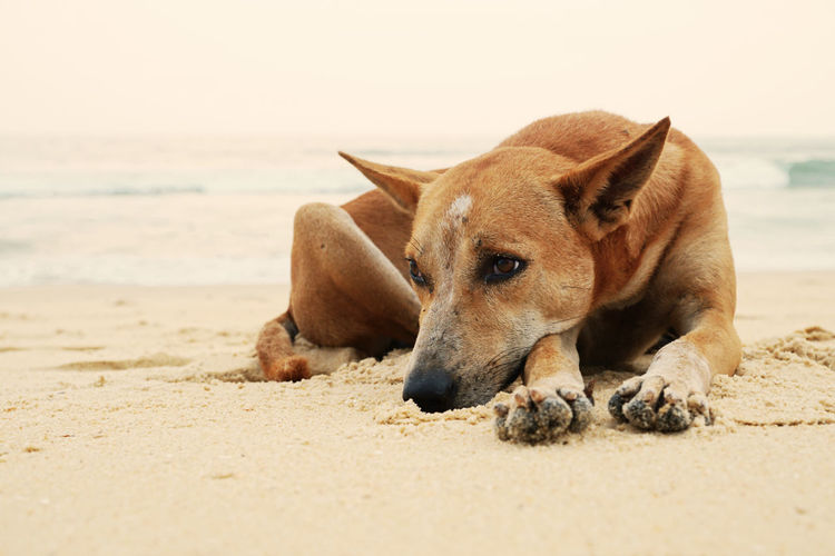 Close-up of dog relaxing on sand at beach