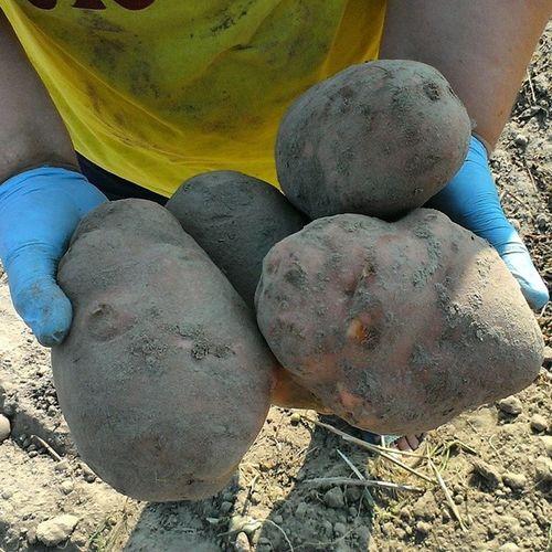 картошка Урожайность🌅