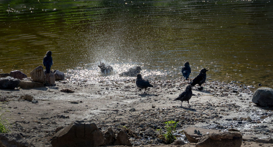 birds, jackdaws bathing in the Volga river Beauty In Nature Birds, Jackdaws Bathing In The Volga River Day Idyllic Lakeshore Leisure Activity Lifestyles Nature Outdoors Rippled Rock Rock - Object Scenics Tranquil Scene Tranquility Vacations Water