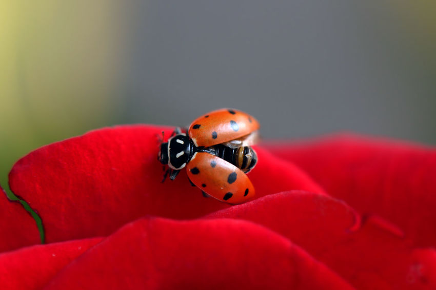 Macro Beauty Ladybug Bug Beetle Insect Catarina Mariquita Macro Maximum Closeness Roja Rojo Alas Flower Rosé Red Spotted Fine Art Photography Things I Like My Favorite Photo Best Of The Best The Great Outdoors - 2016 EyeEm Awards Colour Of Life Color Palette