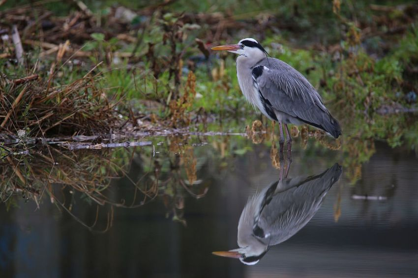 Airone Cenerino Ardeidae Bird Animal Wildlife Animals In The Wild One Animal Water Reflection Heron Lake Nature Animal Themes Gray Heron Beauty In Nature No People Outdoors