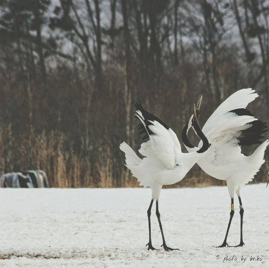 丹頂鶴 EyeEm Best Shots 写真好きな人と繋がりたい 北海道 EyeEm Gallery EyeEm Nature Lover Hokkaido Animal_kei