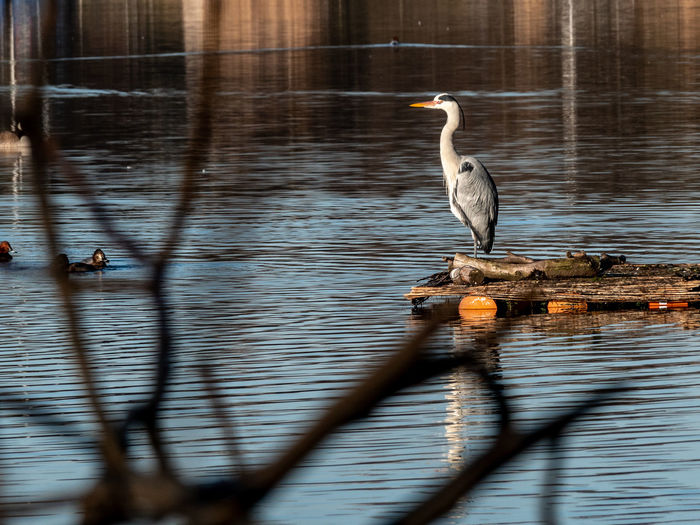 Bird Animals In The Wild Animal Themes Animal Vertebrate Animal Wildlife Water One Animal Lake Reflection Heron No People Selective Focus Perching Nature Focus On Background Day Wood - Material Water Bird