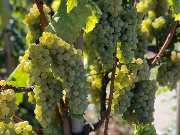 Trauben Vineyards  Grapes