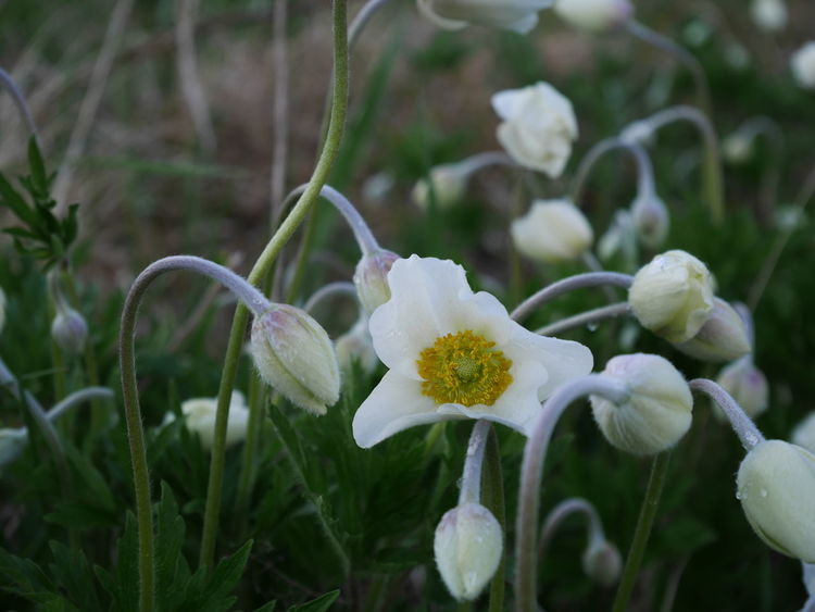 Beauty In Nature Blooming Close-up Day Flower Flower Head Fragility Freshness Growth Nature No People Outdoors Petal Plant Snowdrop White Color