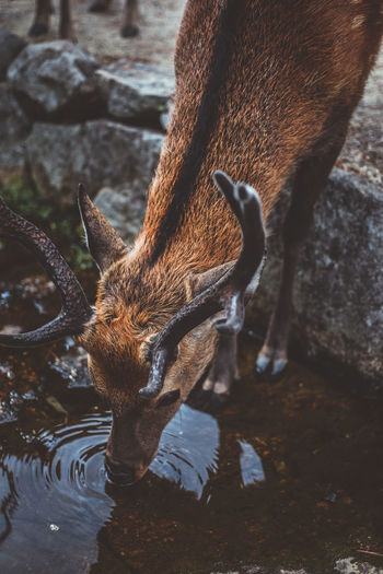 High angle view of deer drinking water in lake