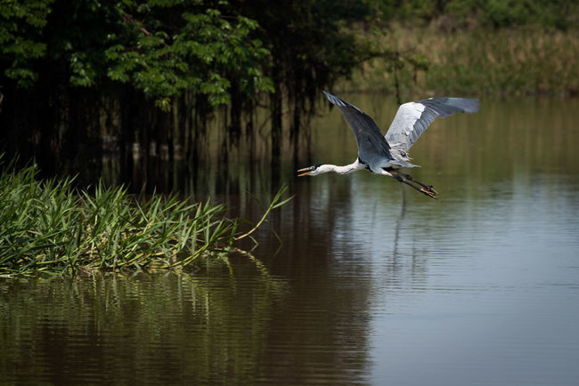 Animal Themes Animal Wildlife Animals In The Wild Bird Coco Day Flying Gray Heron Heron Lake Nature No People One Animal Outdoors Spread Wings Water Yacare