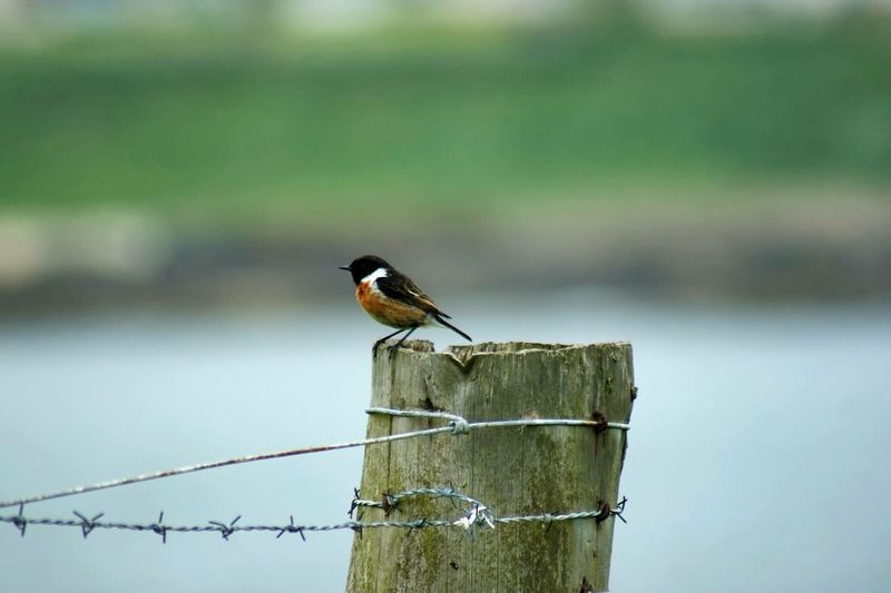 Bird Perching On Wooden Post By Barb Wire