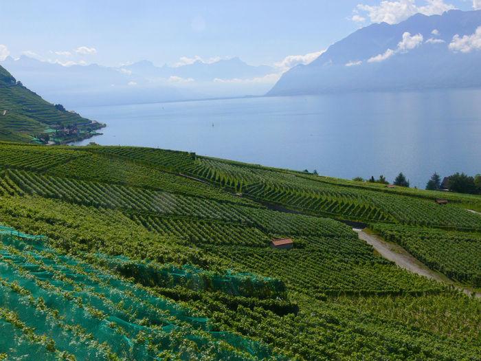 View of vineyard against sea