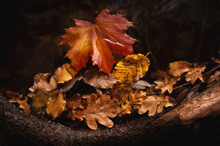 Leaf Plant Part Autumn Change Nature Leaves Dry No People Plant Maple Leaf Tree Close-up Vulnerability  Beauty In Nature Orange Color Fragility Falling Outdoors Day Maple Tree Natural Condition Fall Autumn Collection Wilted Plant