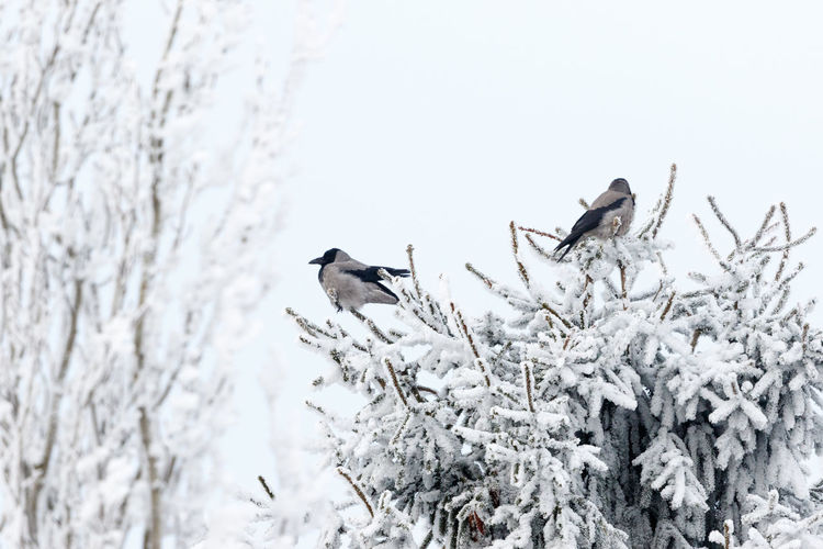 Birds perching on snow covered tree