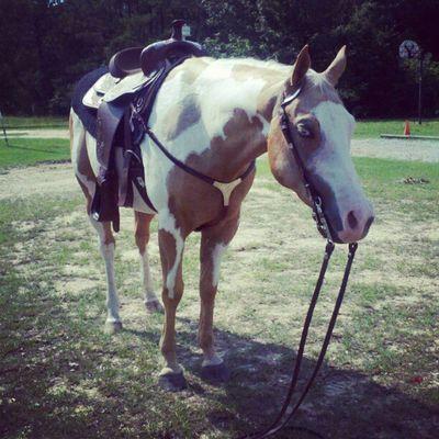 Horses Equus Palomino Paint Gelding