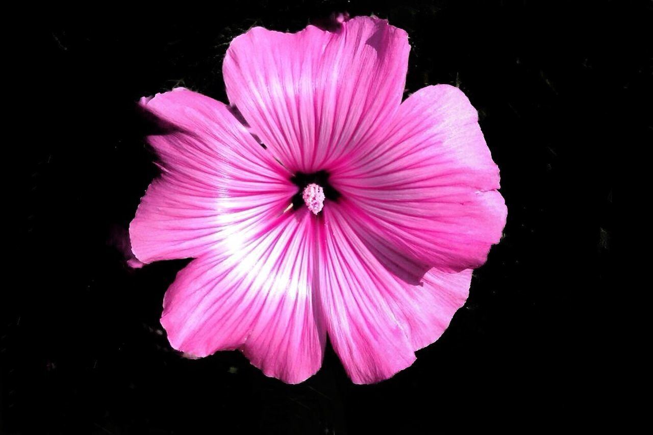 flower, petal, fragility, flower head, beauty in nature, blooming, nature, pink color, freshness, black background, growth, pollen, no people, plant, day, outdoors, close-up, hibiscus