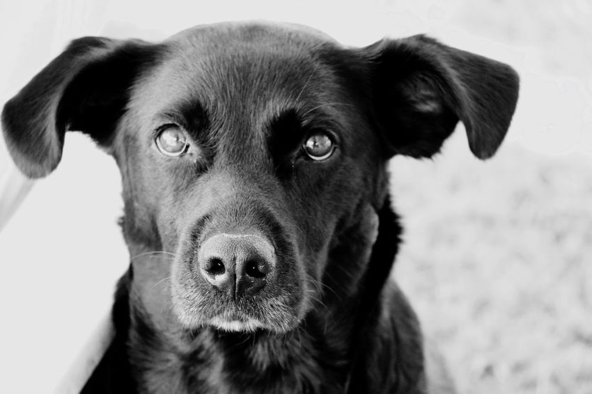 Dog Pets Domestic Animals Looking At Camera One Animal Portrait Animal Themes Mammal Close-up Focus On Foreground No People Day Outdoors Blackandwhite Georgia Abfordham Dogs Of EyeEm Labrador Retriever Labrador Humans Best Friend Black Dog Sitting Puppy Dogs Pet Portraits Pet Portraits Black And White Friday