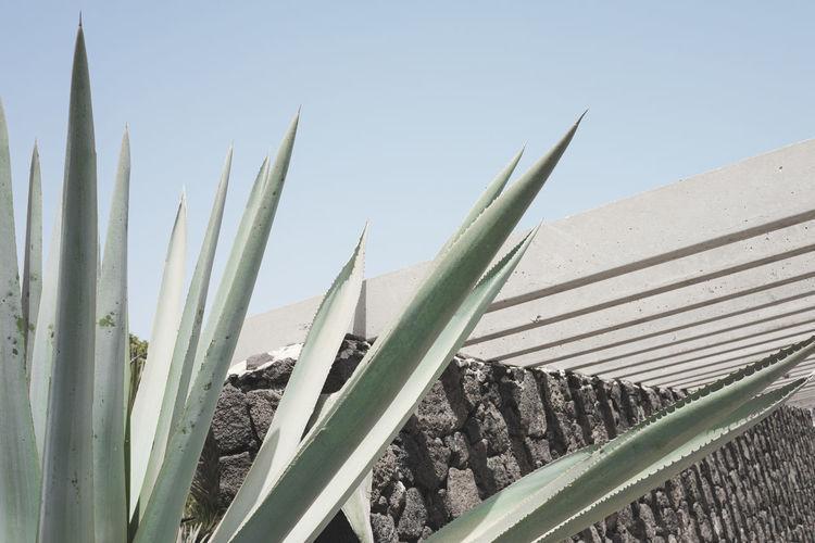 Close-up of succulent plant on field against clear sky