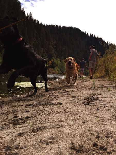 Capture The Moment Dog Dogs Play Running Action Fetch Labrador Water River
