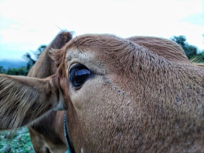 cow Eyes Cow One Animal Close-up Animal Head  Day Portrait Mammal Outdoors Animal Themes Nature