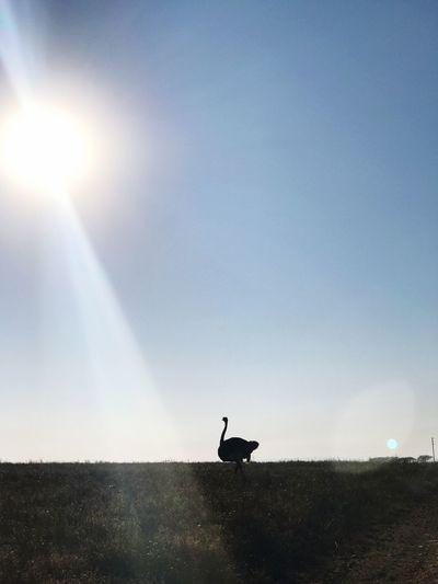 Ostrich Love