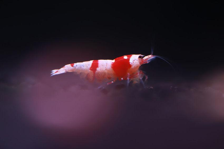Crystal Red Shrimp Breed Crystal Shrimp Shrimp Animal Animal Themes Animal Wildlife Animals In The Wild Aquarium Black Background Close-up Full Length Hobby Indoors  Marine Nature No People One Animal Red Sea Sea Life Swimming Underwater Water