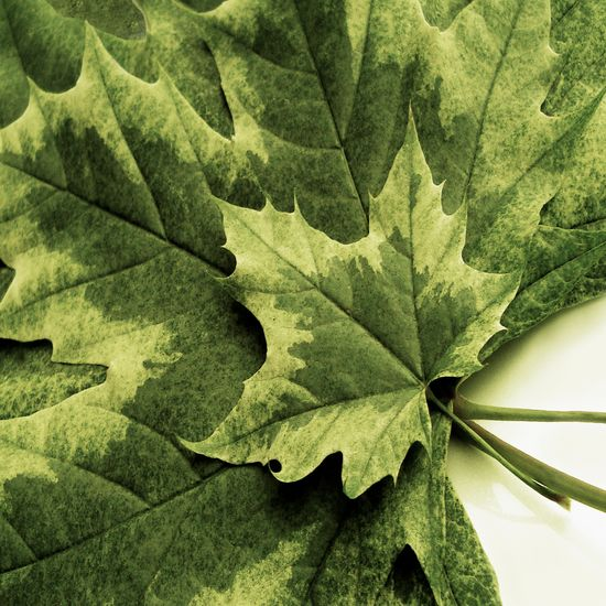 Backgrounds Beauty In Nature Close-up Day Directly Above Full Frame Green Color Growth High Angle View Indoors  Leaf Leaf Vein Leaves Natural Pattern Nature No People Pattern Plant Plant Part Studio Shot