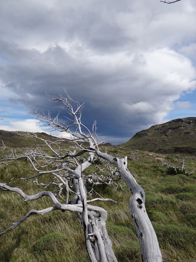 Bare Tree Beauty In Nature Cloud - Sky Day Dead Plant Environment Land Landscape Mountain Nature No People Non-urban Scene Outdoors Patagonia Plant Remote Scenics - Nature Sky Torres Del Paine Tranquil Scene Tranquility Tree