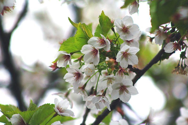 White Cherry Blossom White Cherry Blossom