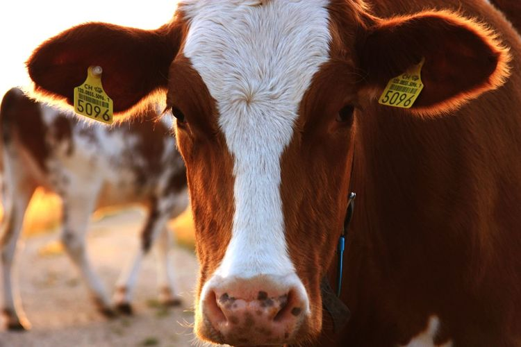 Animal Agriculture Livestock Portrait Mammal Looking At Camera Domestic Animals Rural Scene No People Outdoors Animal Themes Nature Day Close-up Landscape Cow Herd Animal Cattle EyeEm Best Shots - Nature Beauty In Nature EyeEm Selects Nature Standing Agriculture Farm Summer Exploratorium