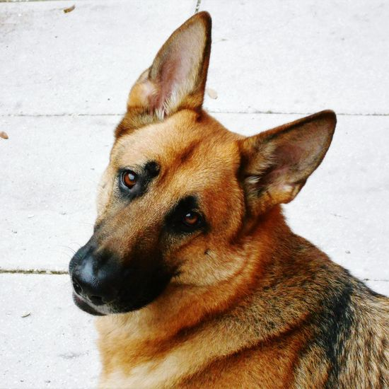 My German Sheperd Troy Pets Dog Domestic Animals Animal Themes One Animal Animal Head  Sheperd Sheperd-dog Shepherd Dog German Shepherd Portrait Day Outdoors Close-up