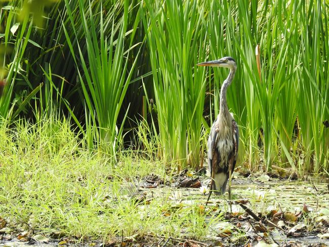 Bird Photography Birdwatching Green Heron Bird Nature Nature Photography Pond Tall Grasses Wildlife & Nature Wildlife Photography Bird Of Prey Birds_collection Great Blue Heron Great Blue Heron In Water Great Blue Herons Ornithology  Pond Life Tall Bird Tall Grass