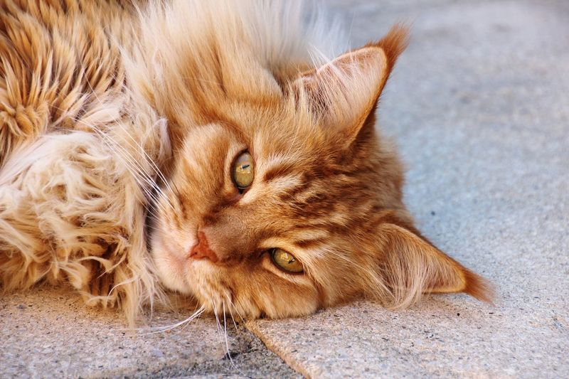 Fuzzy the Maine Coon Ginger Cat Domestic Cat Pets No People One Animal Lying Down Close-up Day Feline Nature Cat Maine Coon Cat Katze Maine Coon 고양이 猫 Animal Themes Domestic Animals Looking At Camera Whisker Animal Eye Animal Face Adult Animal Animal Hair Animal Nose Animal Ear